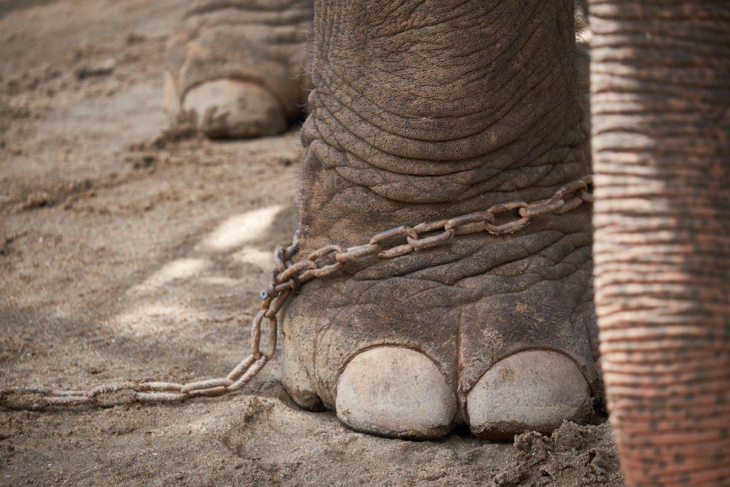 Angeketteter Elefant
