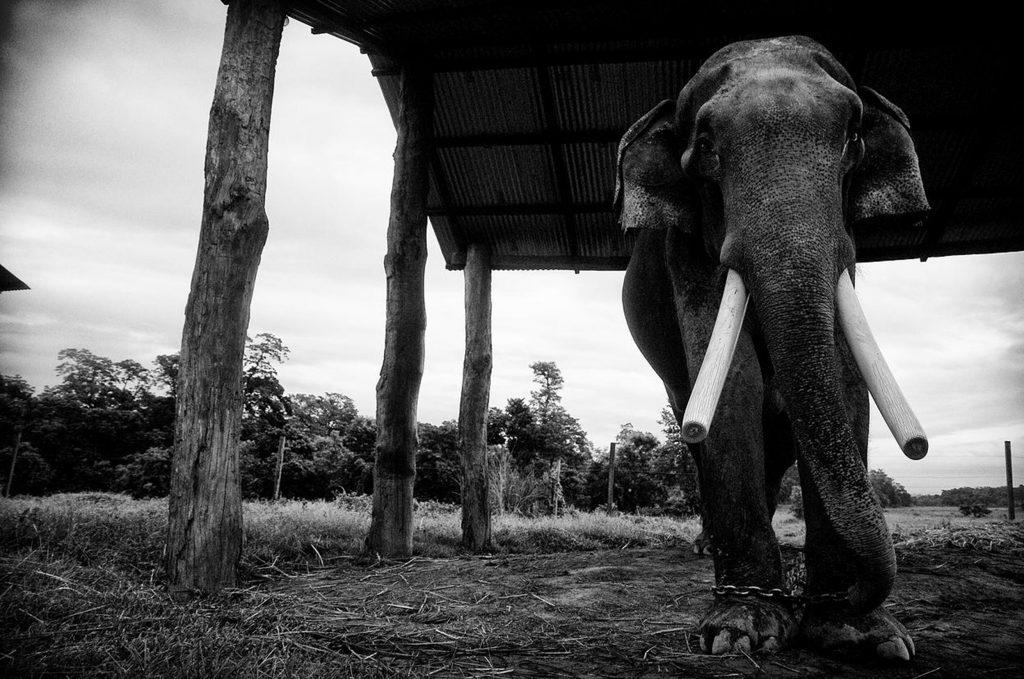 Ein angeketteter Elefant
