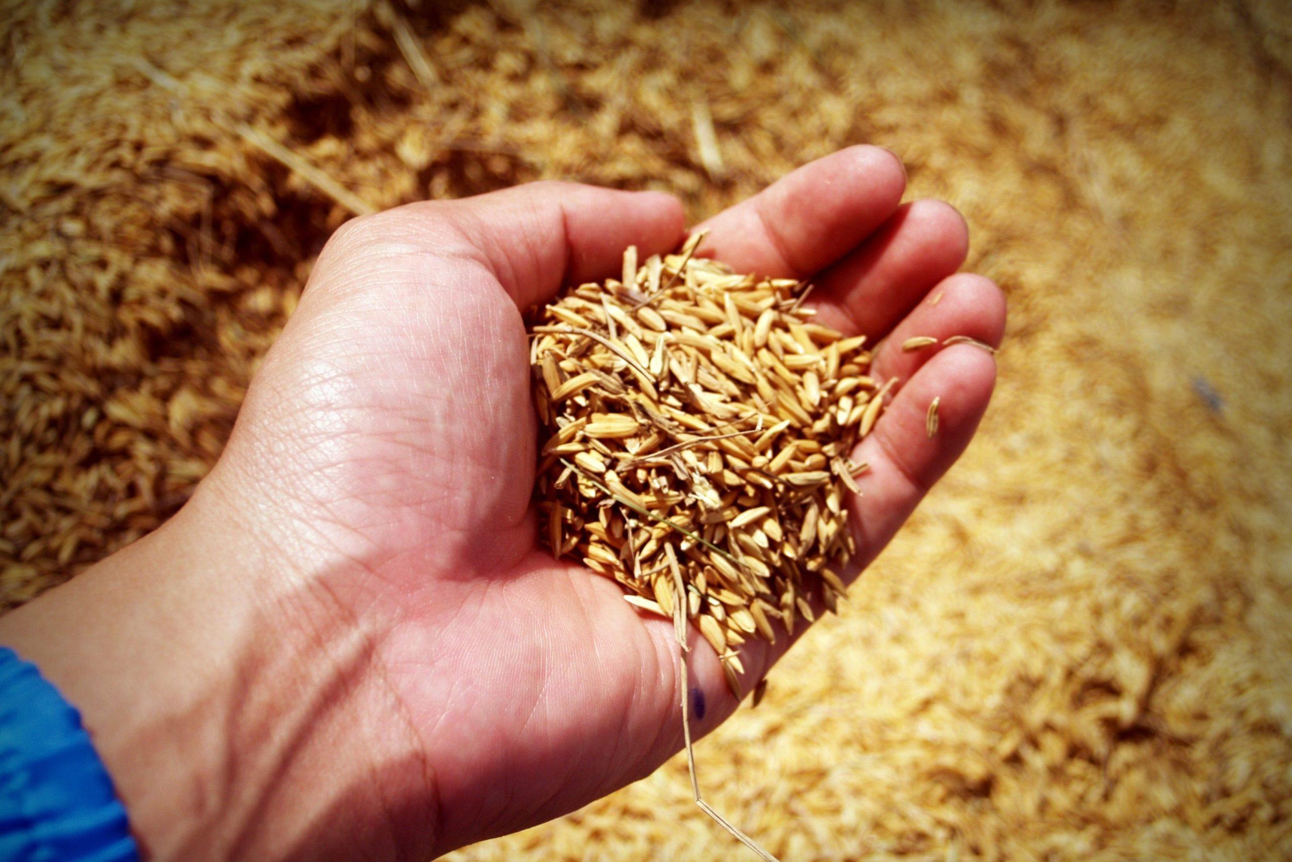 Hand voll Korn